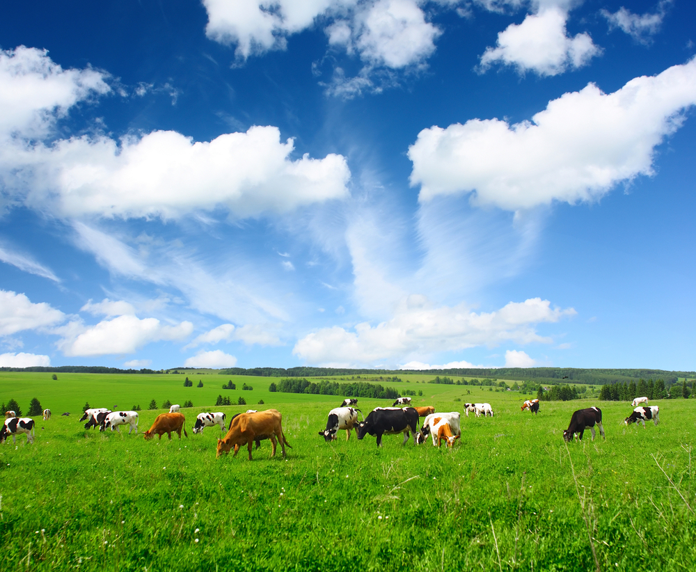 cows-grazing-120424